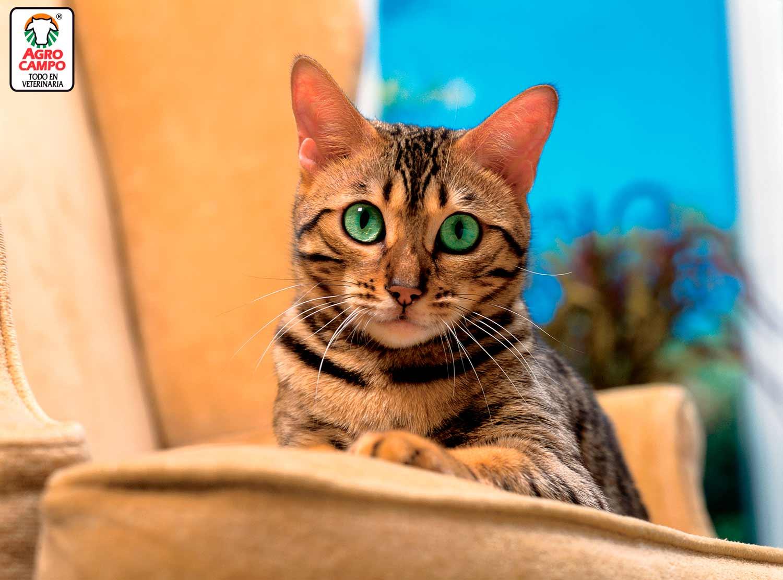 razas-de-gato