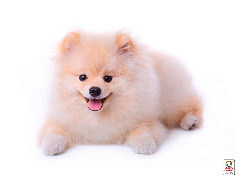 perro-pomerania-imagenes