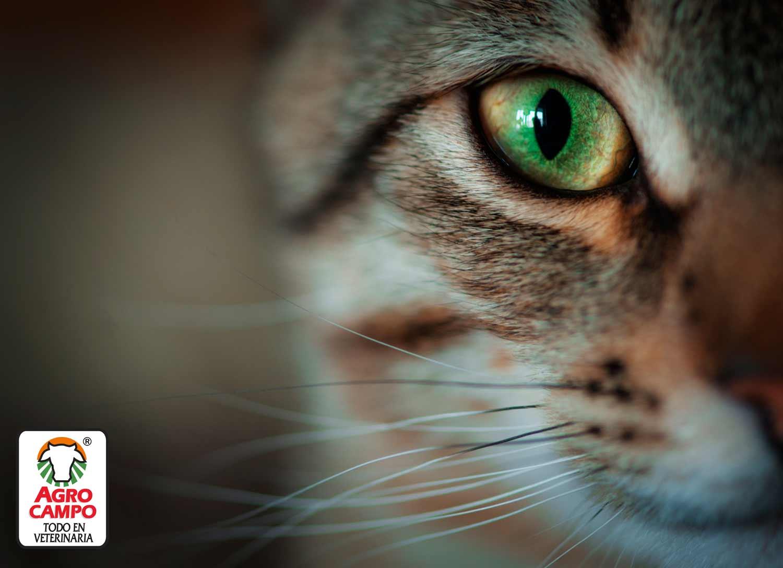 enfermedades-en-los-ojos-de-los-gatos