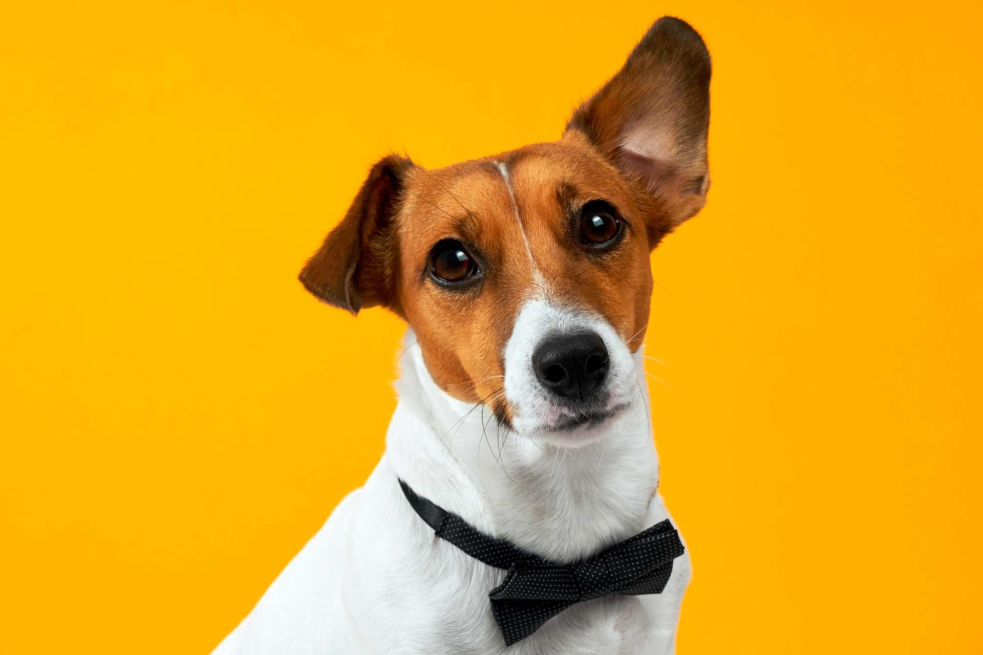 perro-jack-russell-terrier