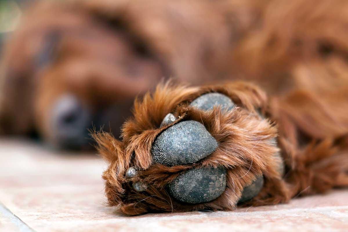 sintomas-de-envenenamiento-en-perros