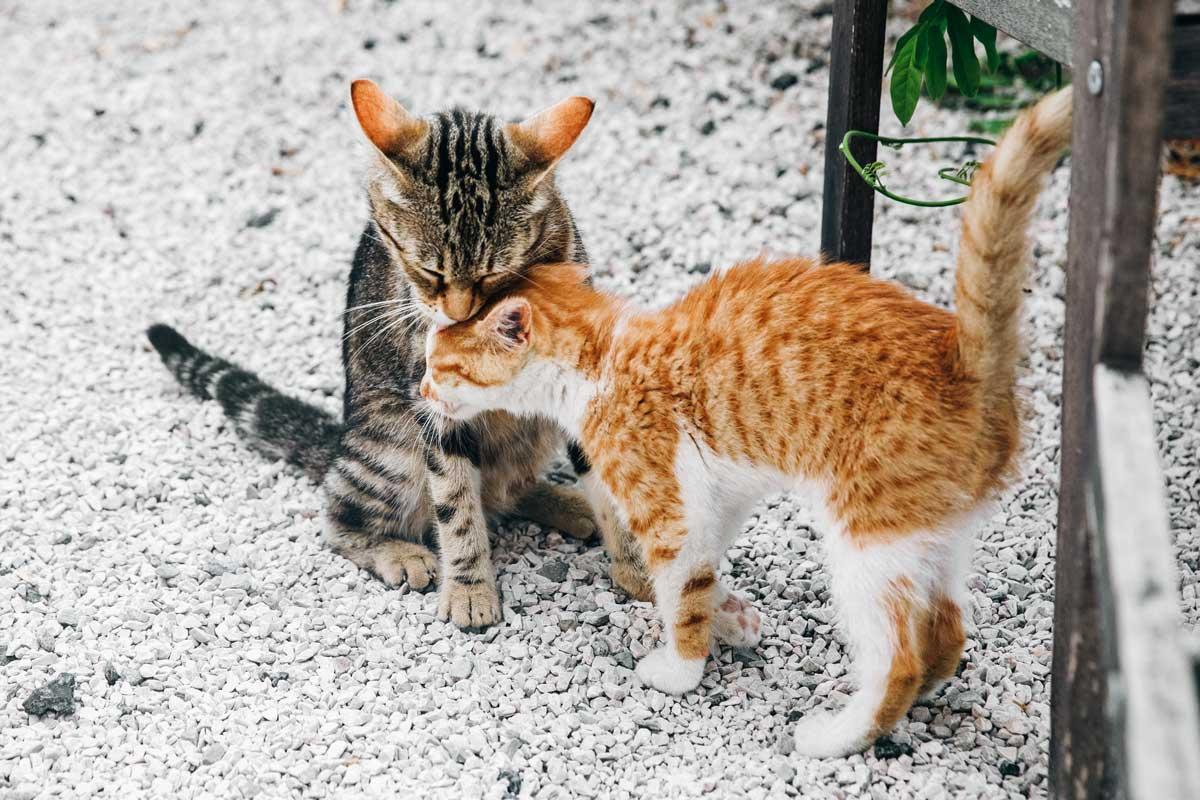 como-saber-la-edad-de-un-gato