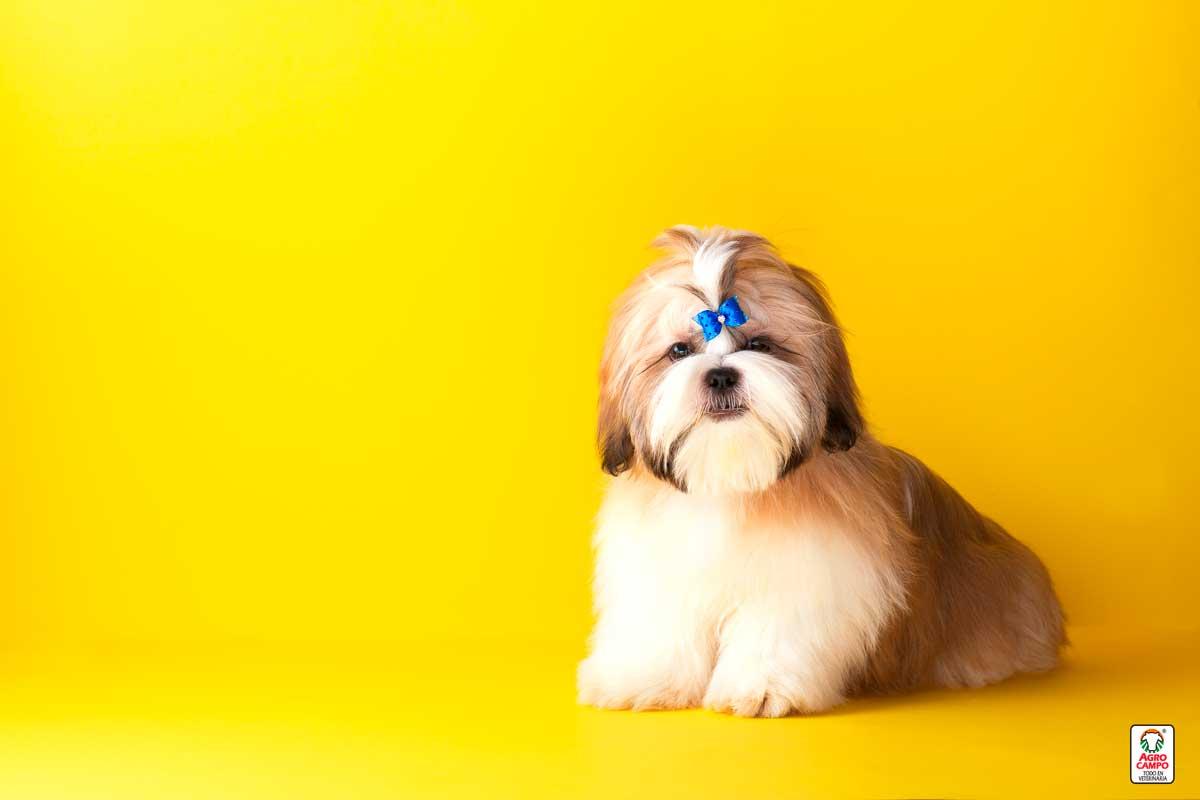 perro-Shitzu