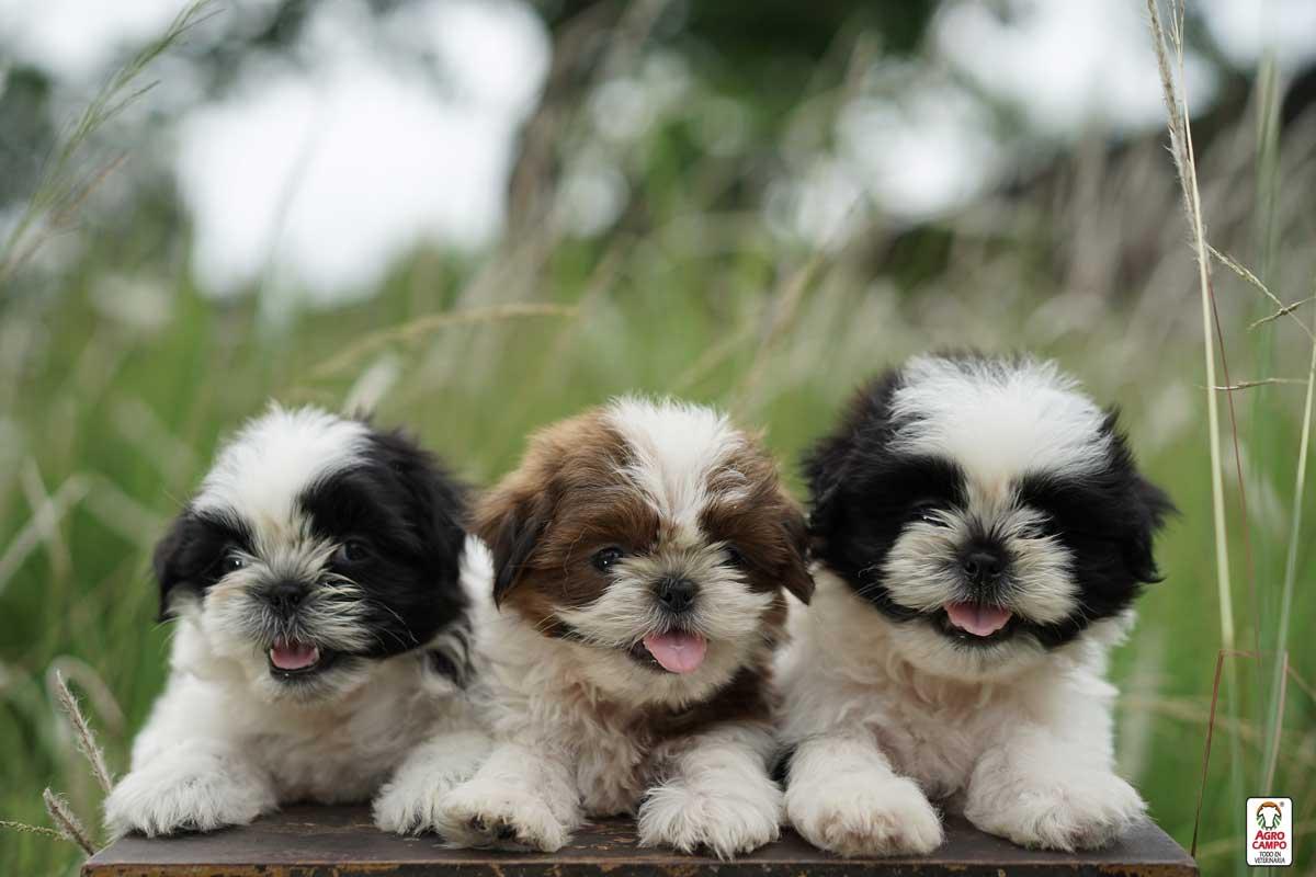 razas-de-perros-pequeños-y-peludos