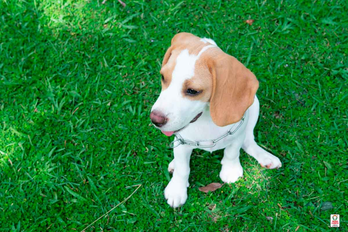 beagle-limon