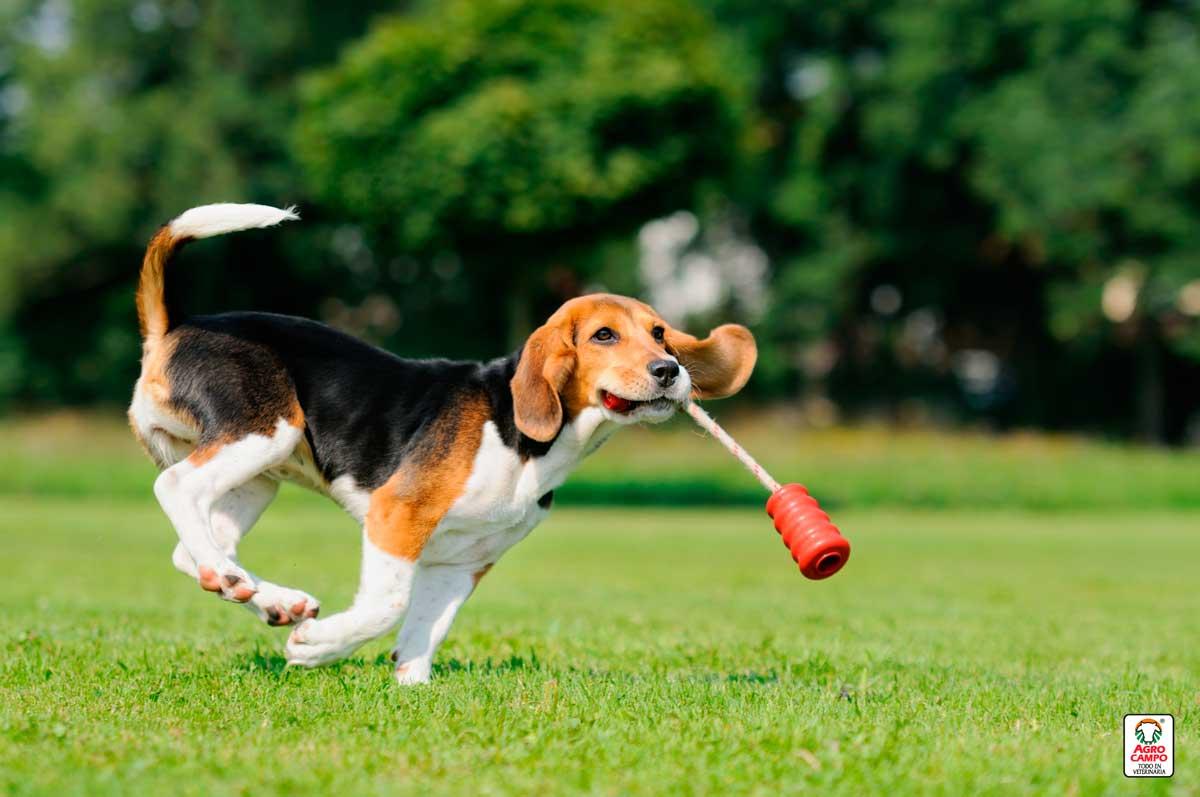perro-beagle-comportamiento