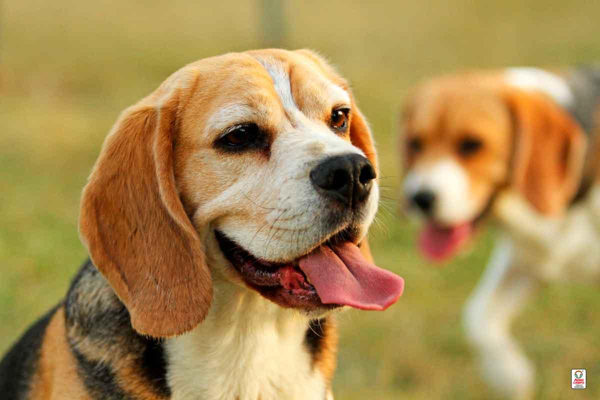 perro-beagle-origen