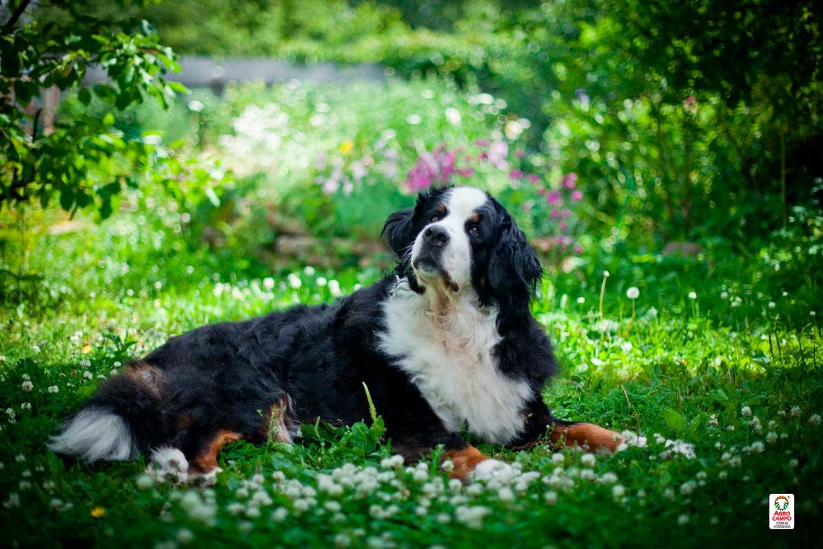perro-bernes-de-la-montana