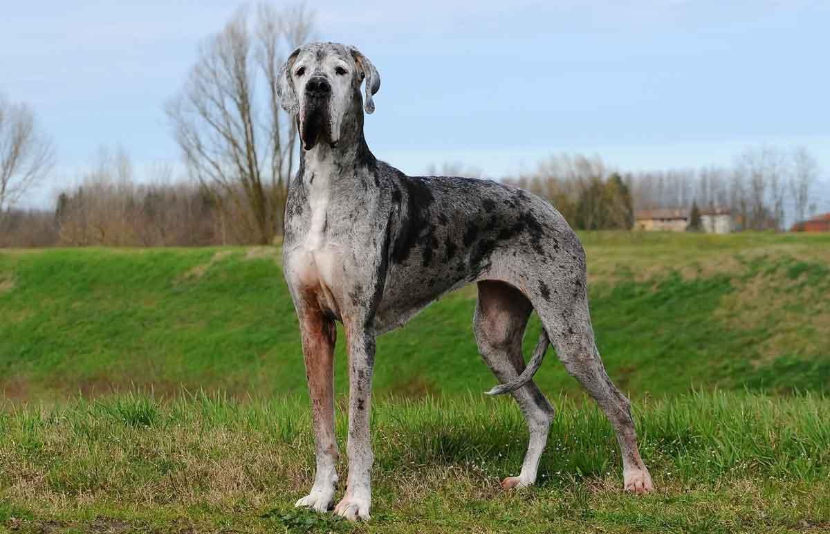 perro-gran-danes