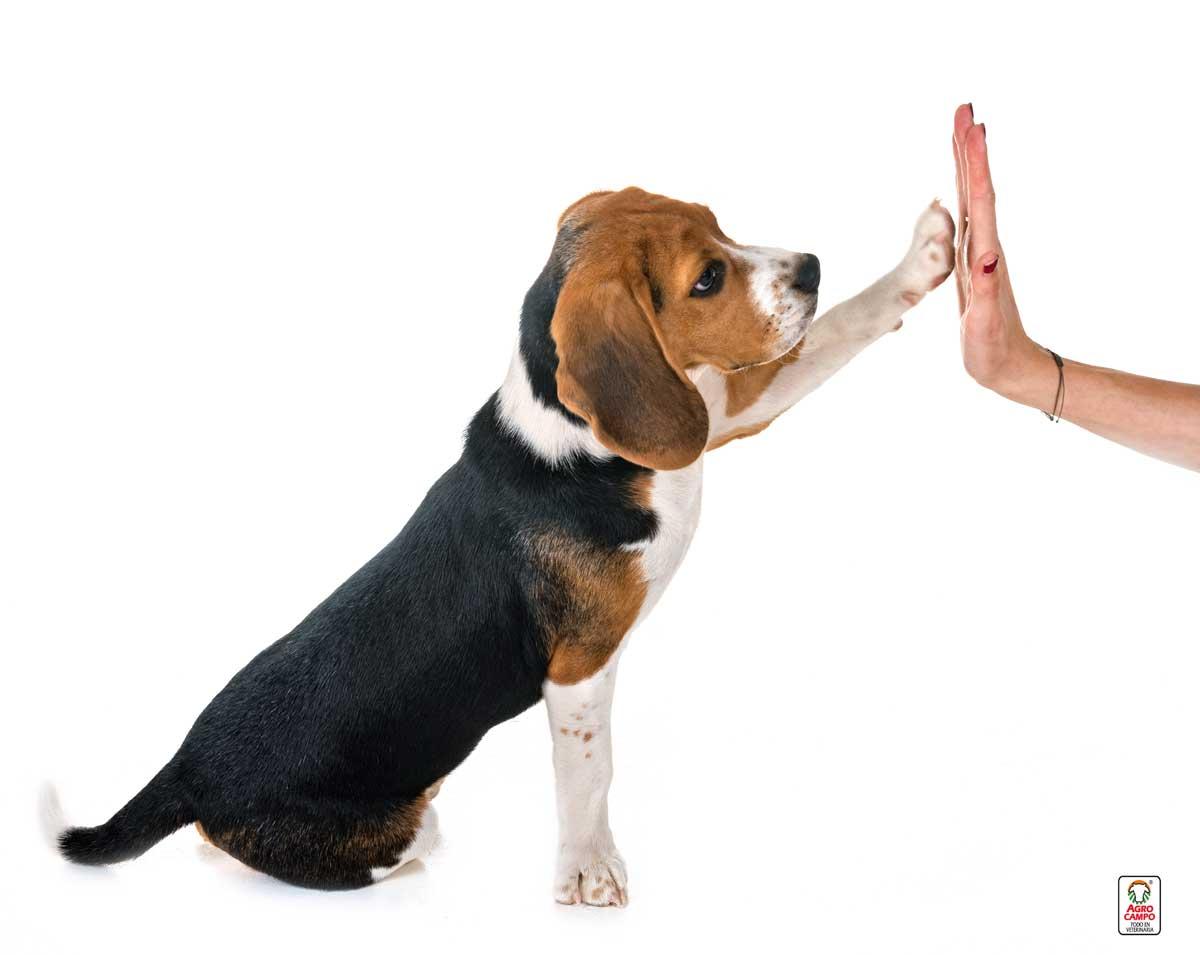 perro-raza-beagle