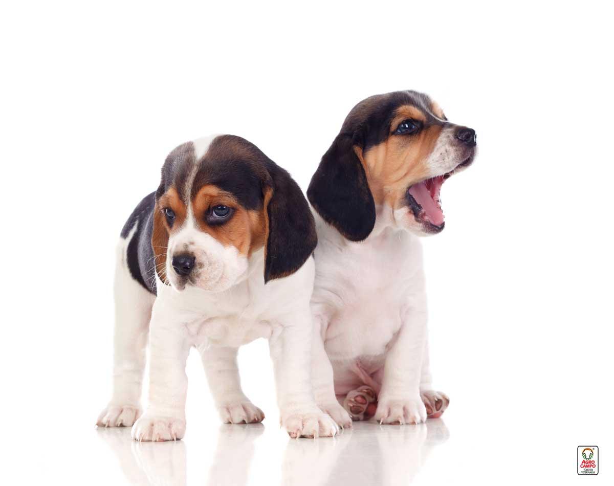 perros-raza-beagle-cachorros