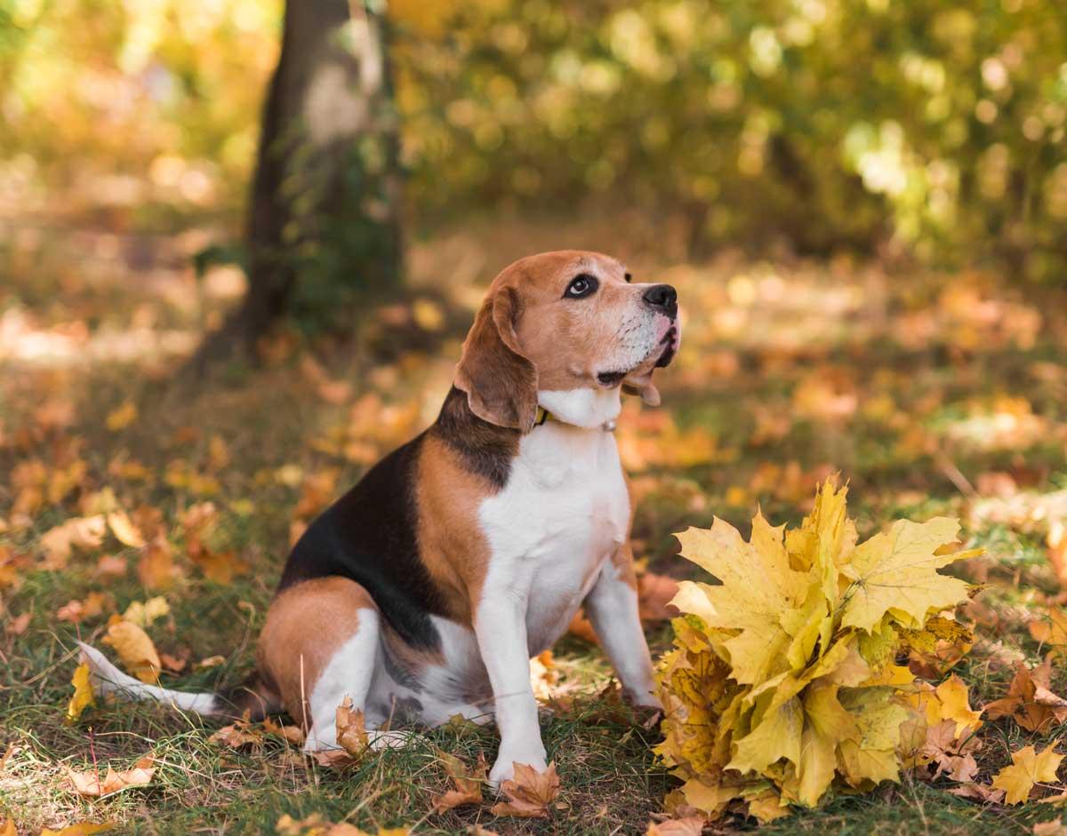 raza-de-perro-beagle