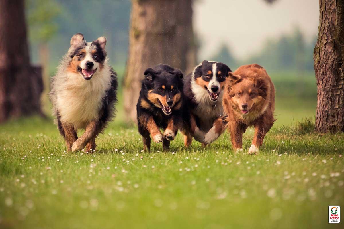 razas-de-perros-grandes-y-peludos
