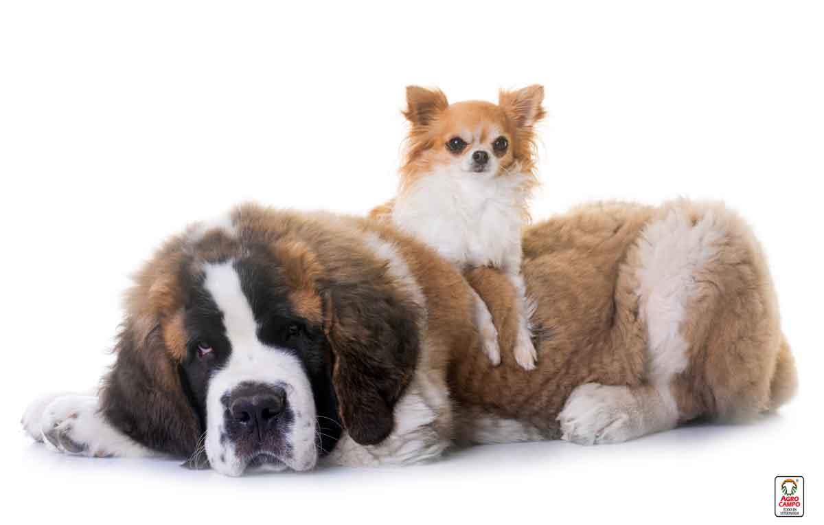 san-bernardo-perro