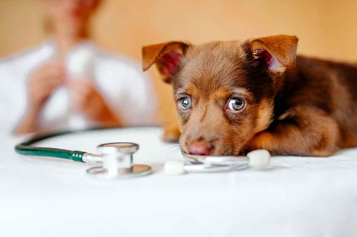 como-saber-si-un-perro-tiene-fiebre