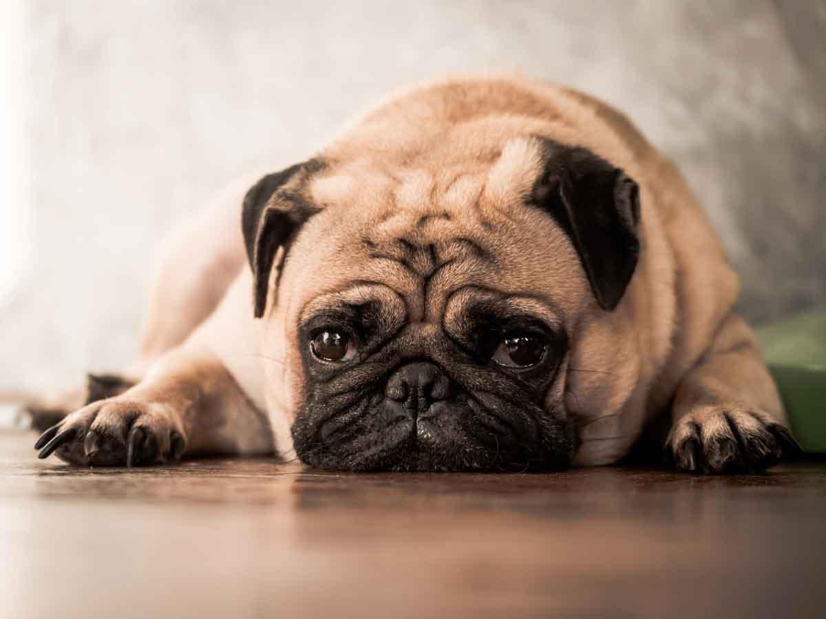 mi-perro-vomita