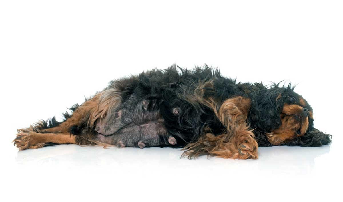 mastitis-en-perros