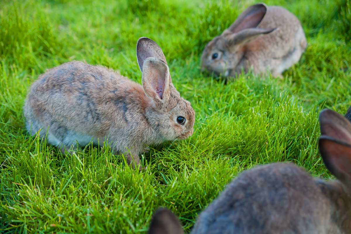razas-de-conejo
