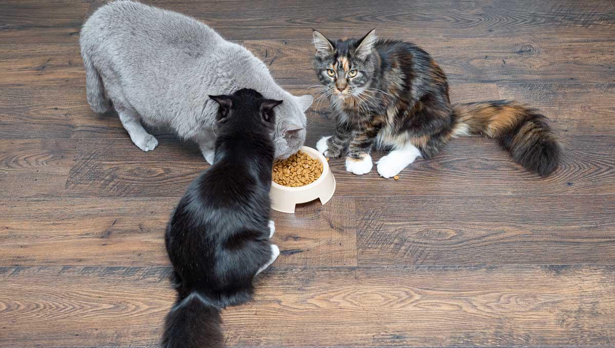 razas-de-gatos-grandes