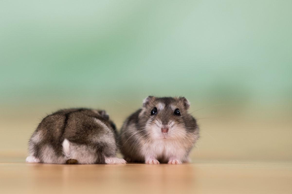 nombres-para-hamster