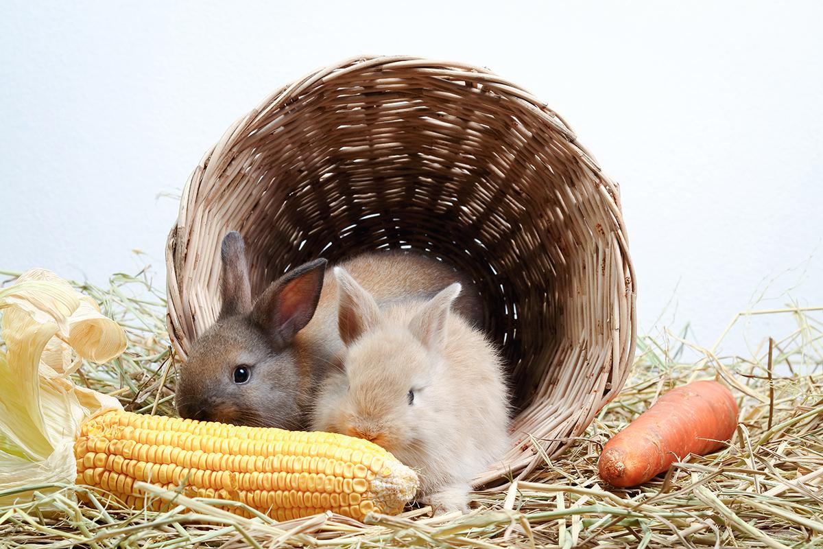 que-comen-los-conejos