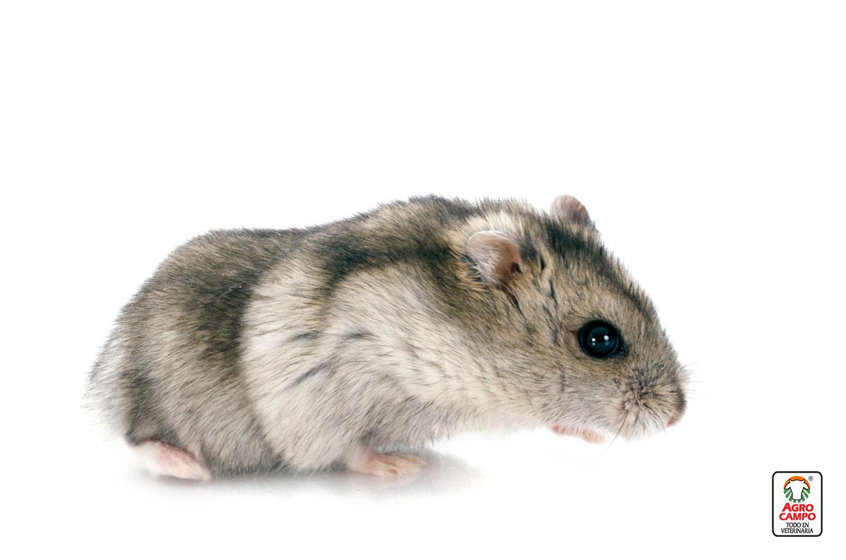 cuanto-tiempo-vive-un-hamster-ruso