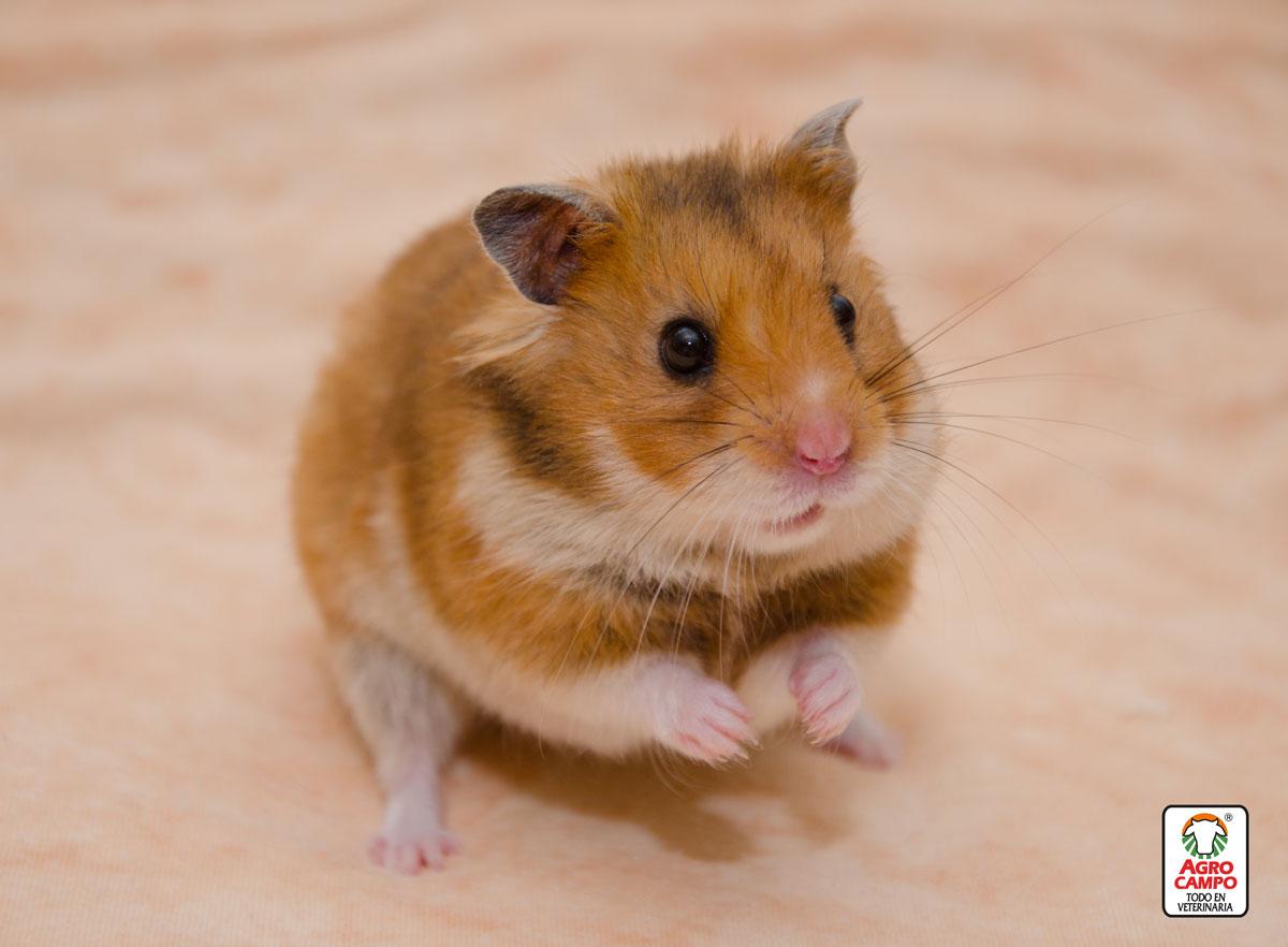 hamster-dorado-cuanto-vive