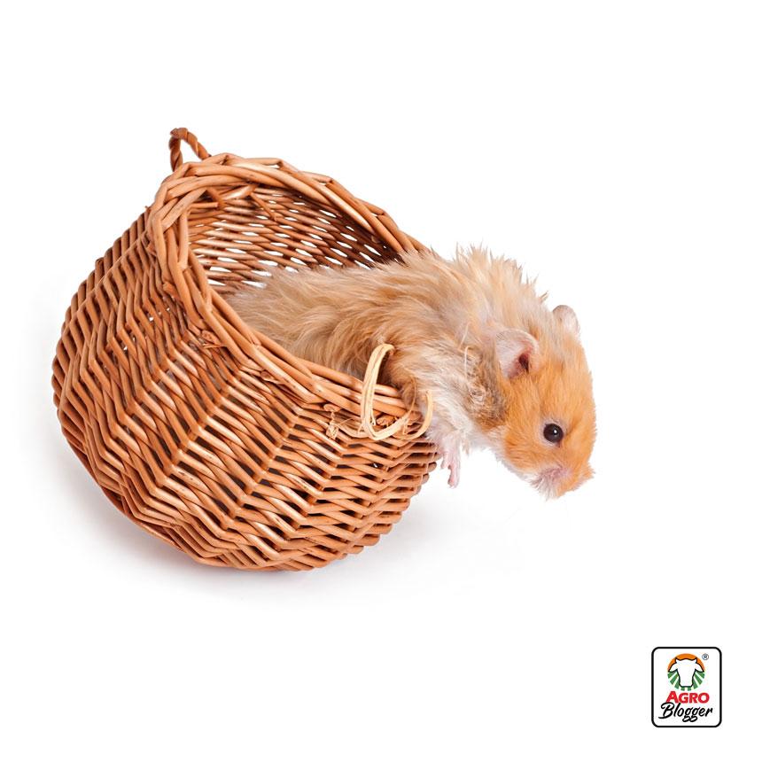 hamster-angora