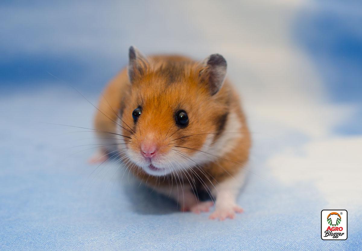 hamster-sirio