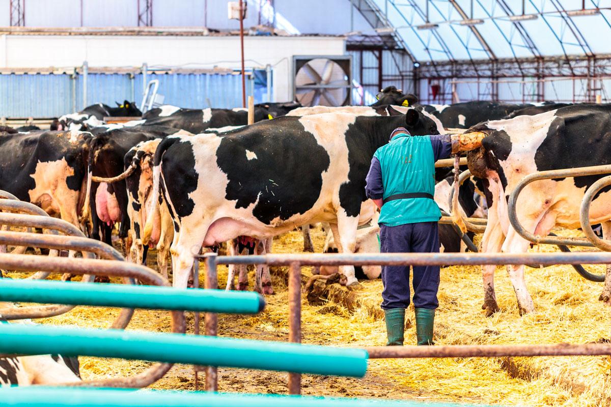 inseminacion-artificial-en-bovinos