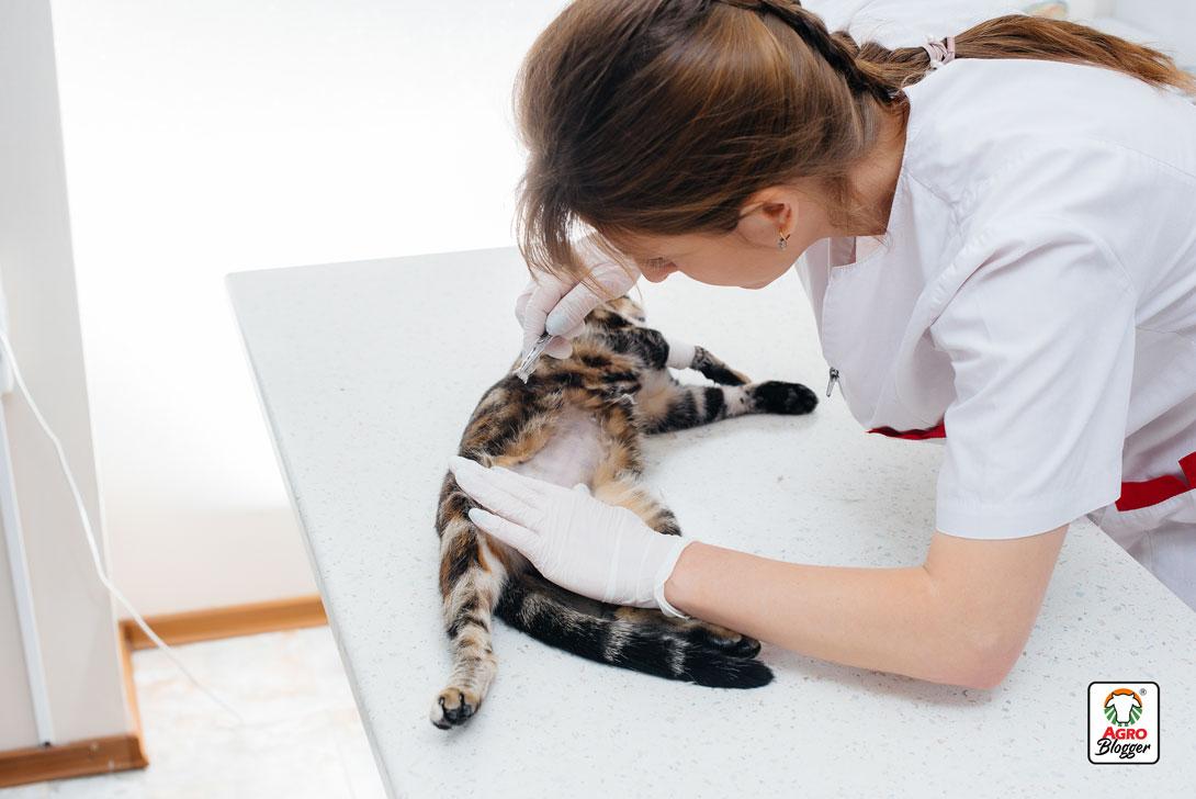 lipidosis-hepatica-felina-se-cura
