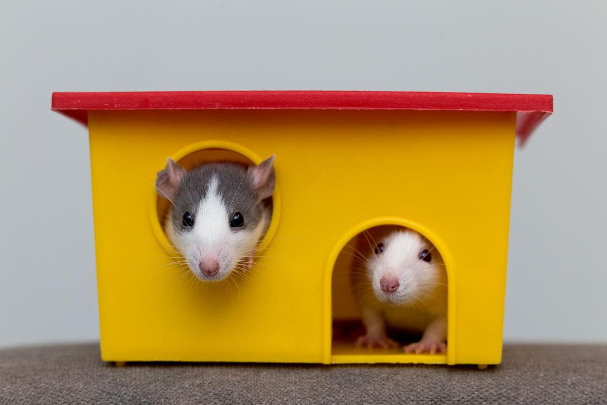 razas-de-hamster