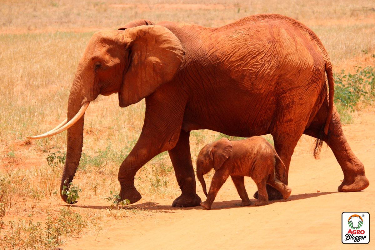 animales-silvestres-elefantes