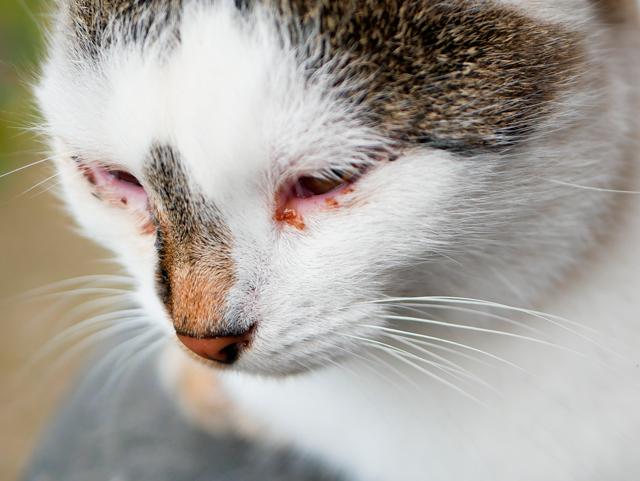 conjuntivitis-en-gatos
