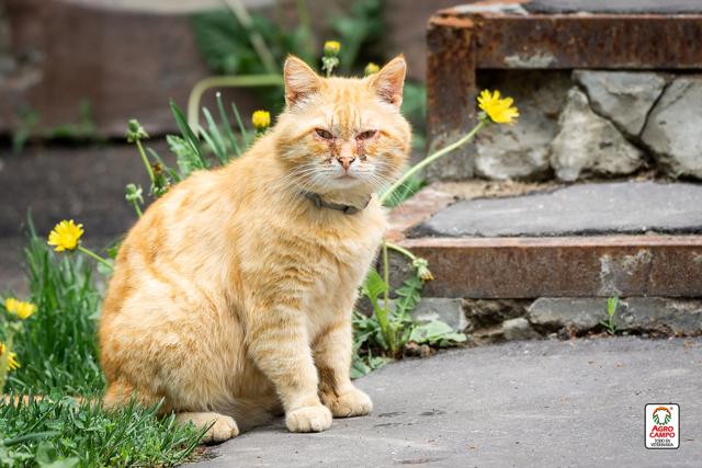 conjuntivitis-en-los-gatos