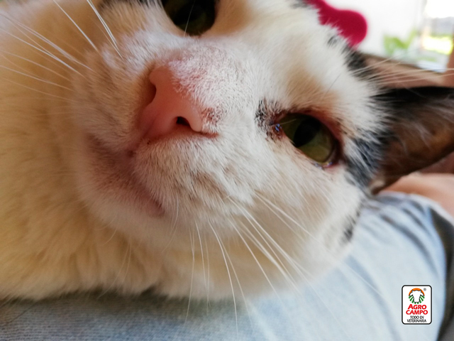 conjuntivitis-gatos-sintomas